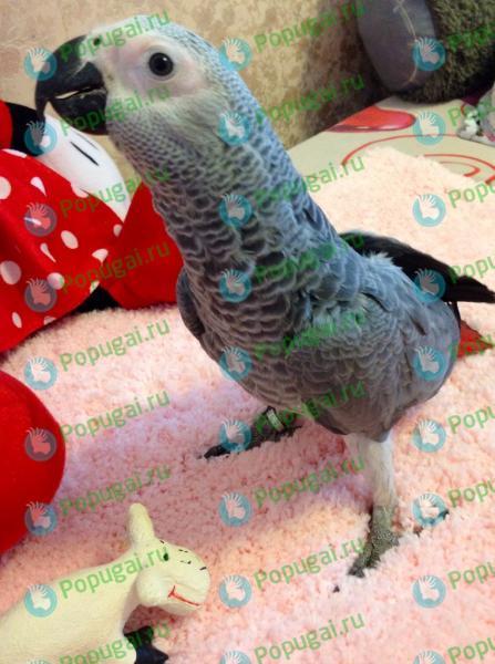 Питомники в самаре попугаев жако